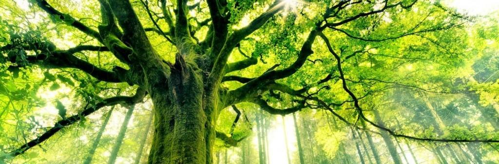 cropped-les_plus_beaux_arbres_du_monde_hetre_de_ponthus.png
